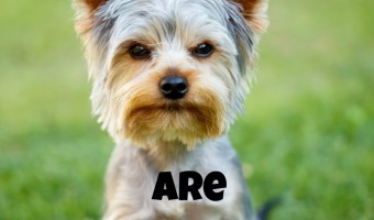Wondering if Yorkies are hypoallergenic dogs? Find out the answer, then discover if this sweet small-breed pooch is the right one for you and your family!