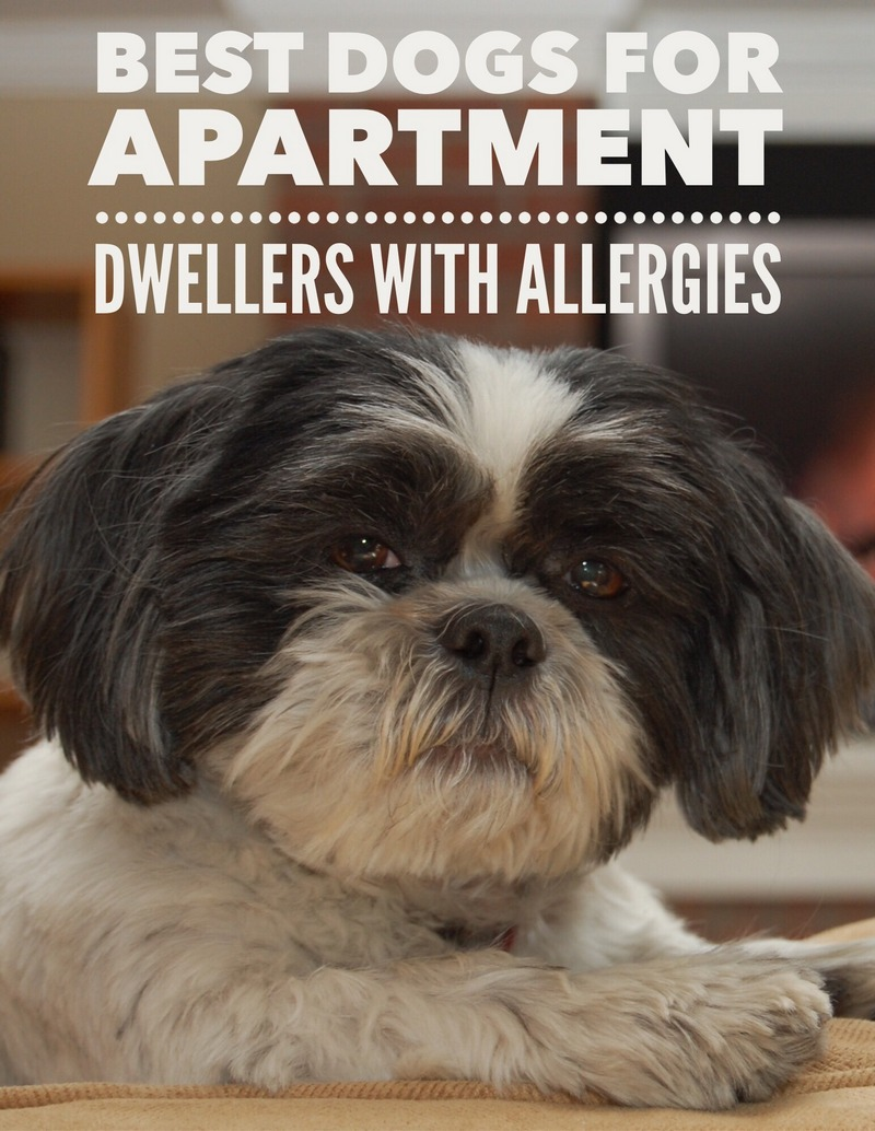 Best dog breeds for apartments allergies for Best dog breed for you