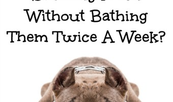 Wondering how to keep your pit bull smelling fresh without bathing them twice a week? Check out our tips for keeping any dog smelling clean!