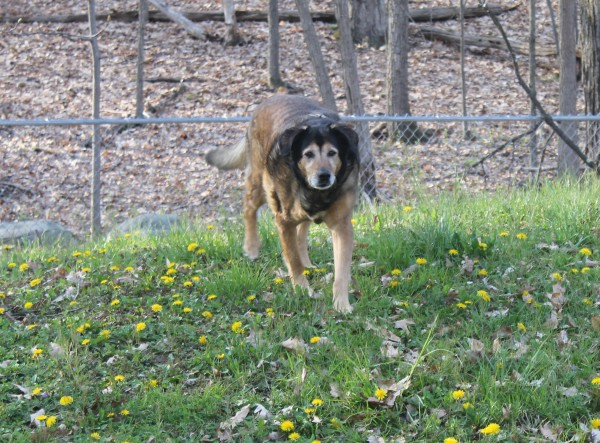Creating a Routine to Achieve a Healthy Weight #PerfectWeight: Even my senior girl enjoys strolling around the backyard getting her excericse!