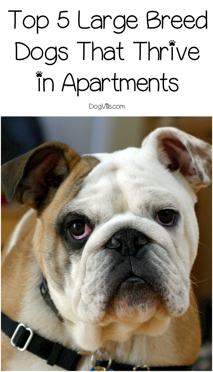 Top 5 Large Breed Dogs That Thrive in Apartments