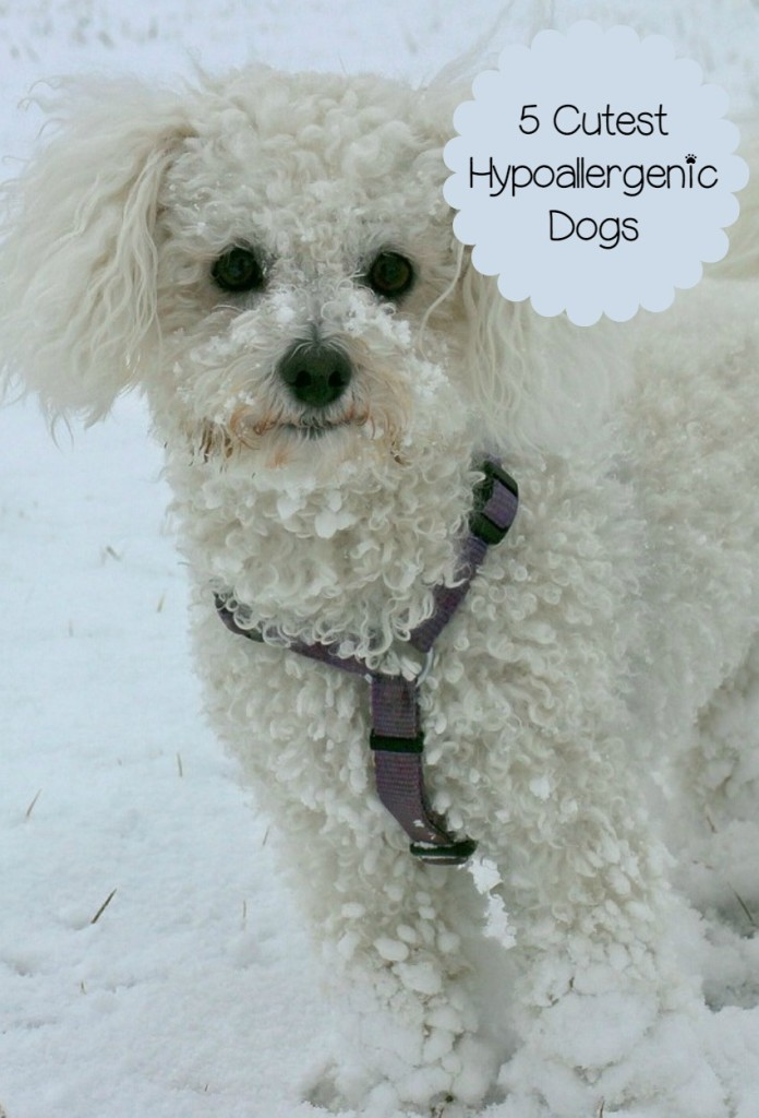cutest hypoallergenic history dogs dog universe breeds puppies breed five dogvills