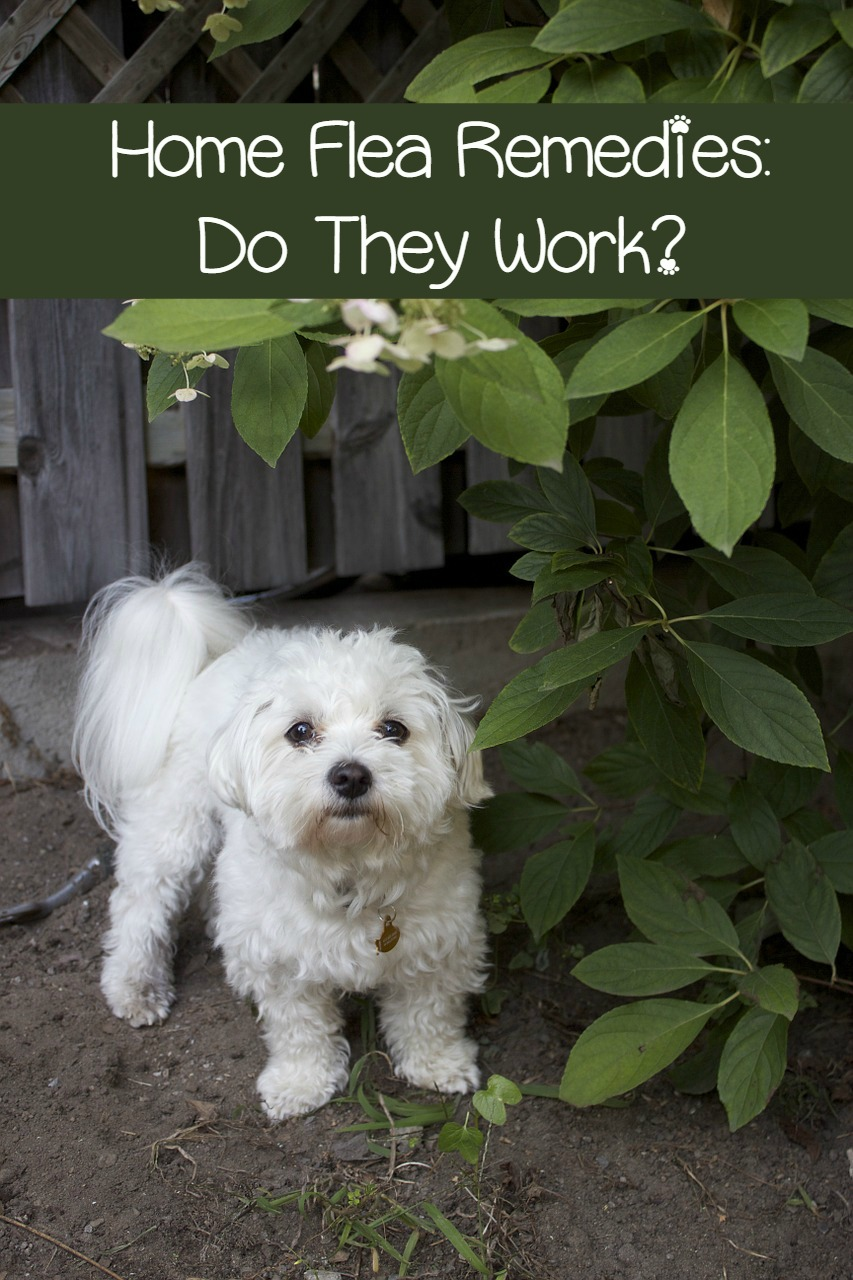 Flea and Tick Home Remedies – Only use Them if you Want Fleas