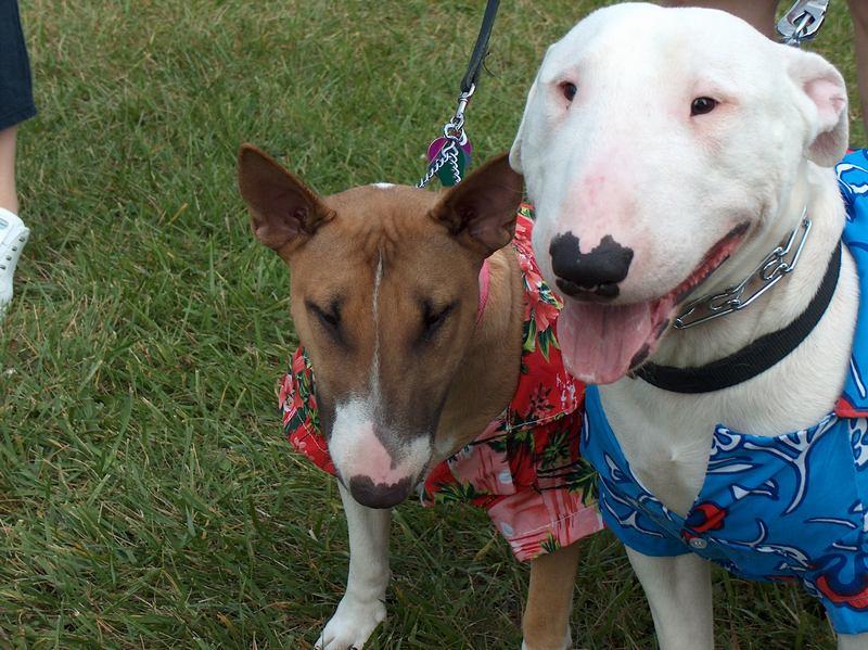 Pitbull Puppy Training Tips Leash Walking Made Easy