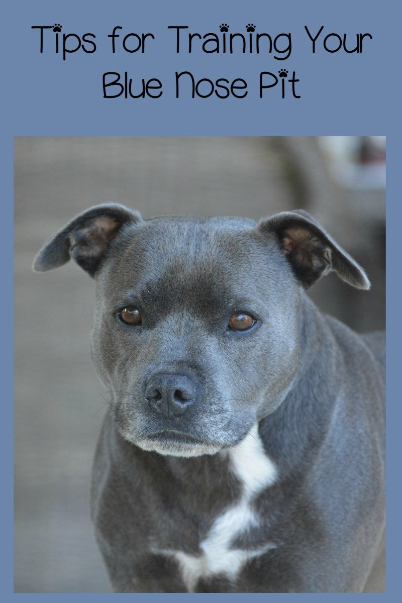 pitbull puppy training tips the blue nose pit dogvills