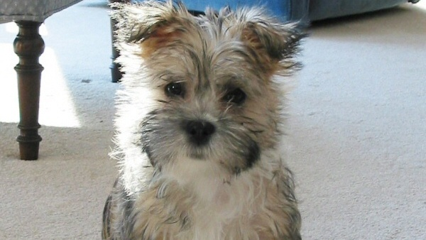 There are some small hypoallergenic dogs that can get extra dirty. One of the hypoallergenic dogs that tends to get dirty and stinky is the Cairn Terrier.