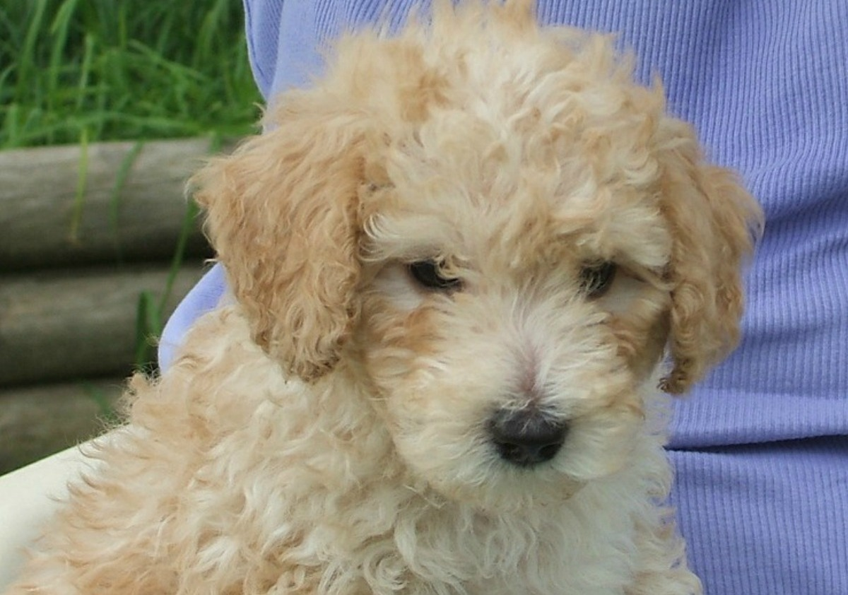 Cockapoo Small Hypoallergenic Dogs That Love Messes