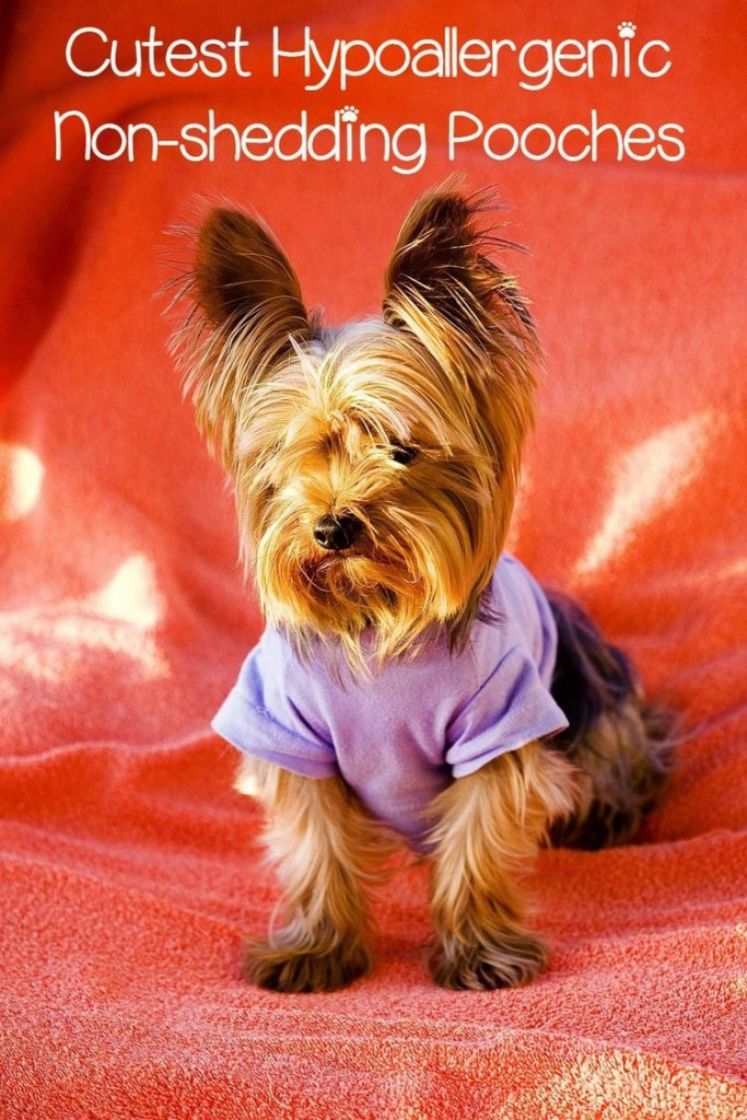 Aninimal Book: 5 Cute Small Hypoallergenic Dogs that Don't Shed - DogVills