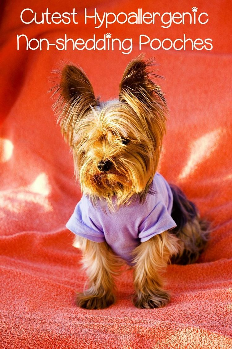5 Cute Small Hypoallergenic Dogs that Don't Shed