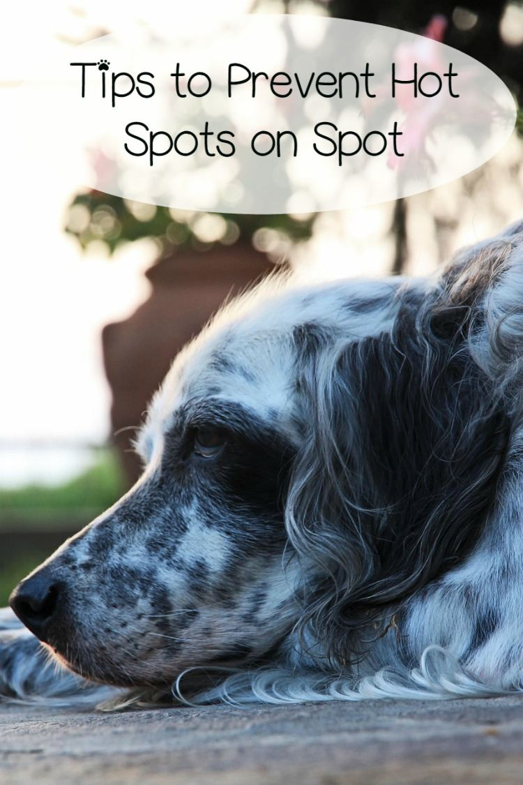 How To Prevent And Treat Hot Spots On Dogs Dogvills