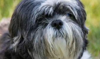 Meet the Shih Tzu – The Ultimate House Dog