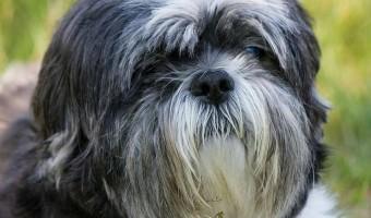 Meet the Shih Tzu - The Ultimate House Dog