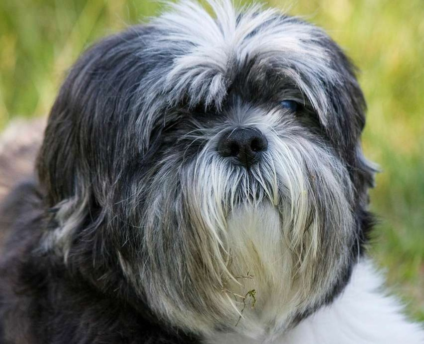 Meet the Shih Tzu - The Ultimate House Dog