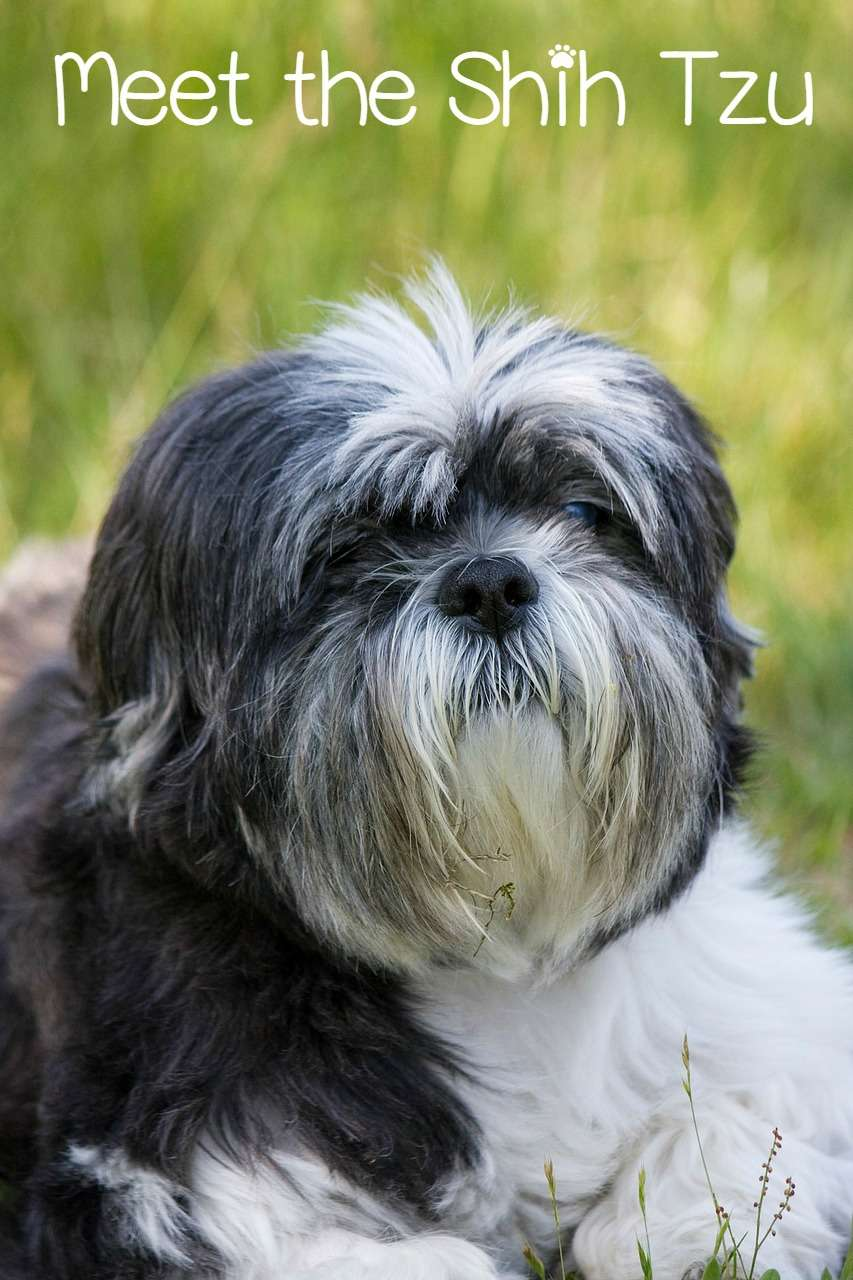 The Shih Tzu is a wonderful dog if you're looking for a hypoallergenic, low maintenance, family dog. While somewhat stubborn, the Shih Tzu is wonderful.