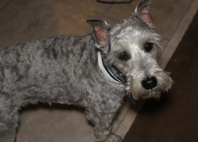 The Mini Schnauzer: My All-Time Favorite Hypoallergenic Dog