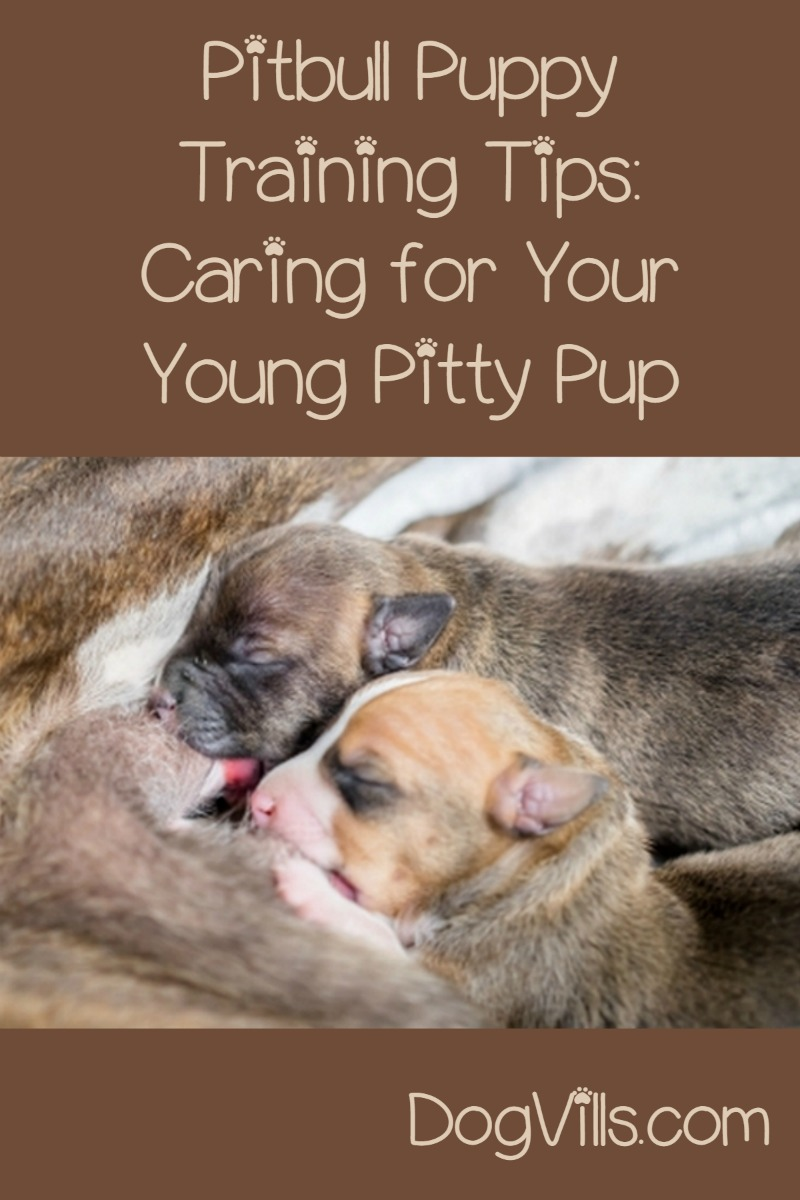 Caring for a Young Pitbull Puppy