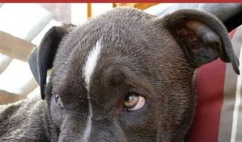 Pitbull Puppy Training Tips: Learning to Listen