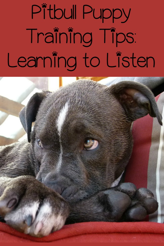 Top Pitbull puppy training tips