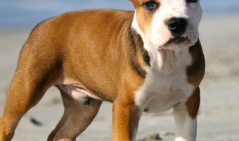 Pitbull Puppy Training Videos – Informative and Adorable