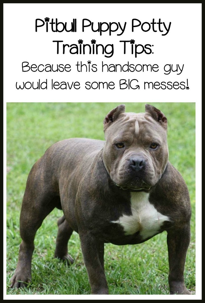 Pitbull Puppy Training Tips Quick And