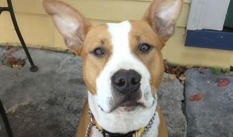 Pitbull Puppy Training Tips – Teaching Sit