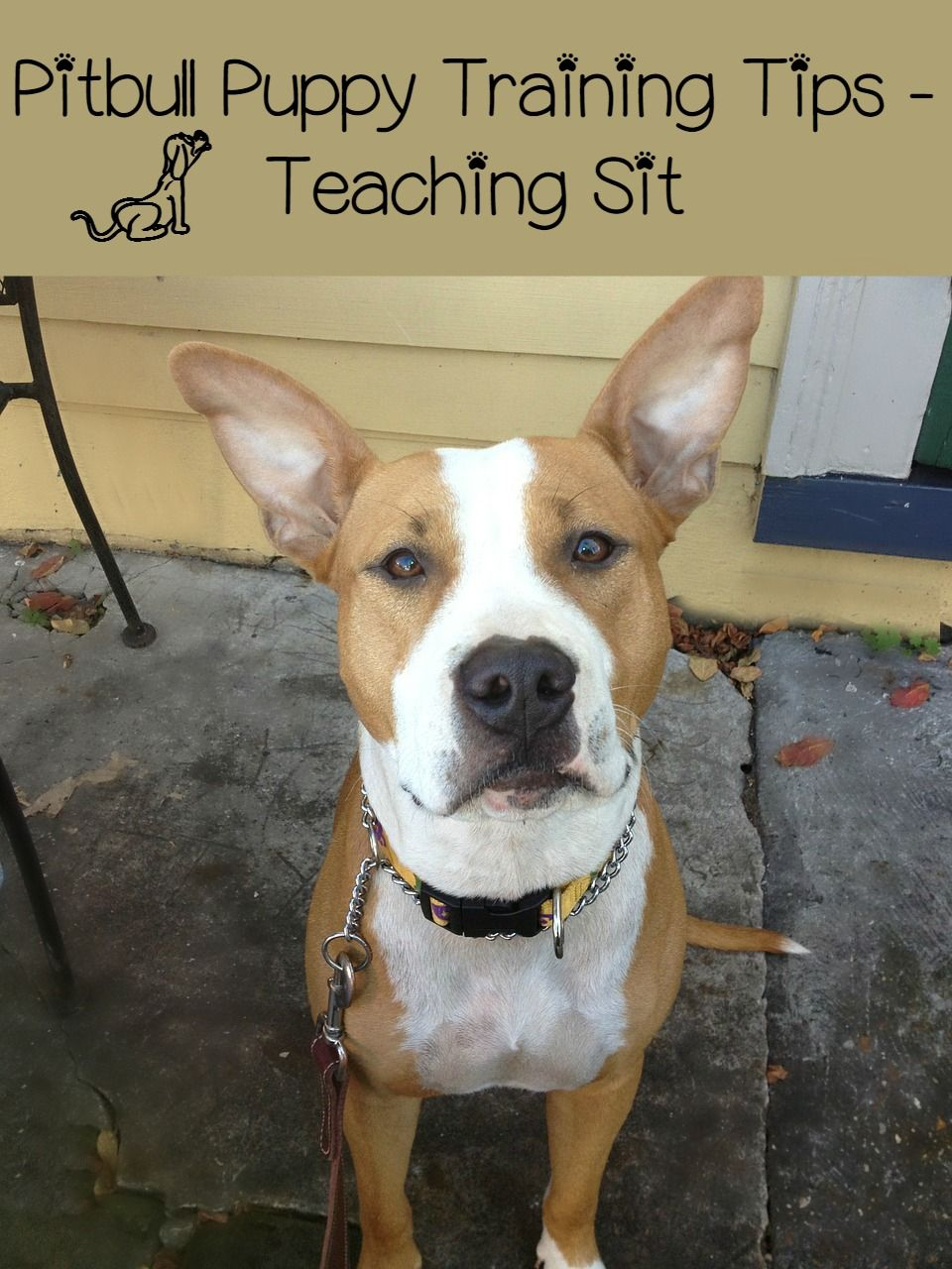 Pitbull Puppy Training Tips – Teaching Sit