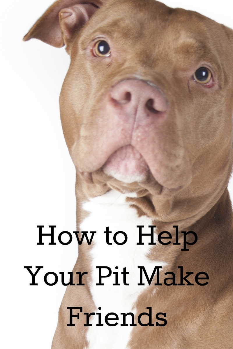 How to Help Your Pit Make Friends