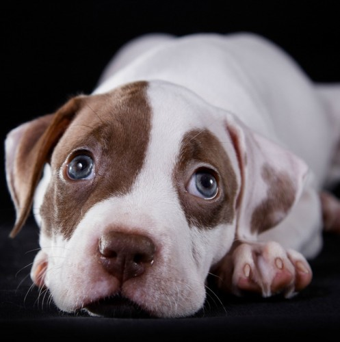 Is your sweet little bully furbaby giving you some not-so-sweet nips during play? Check out our pitbull puppy training tips to nip the biting in the bud!