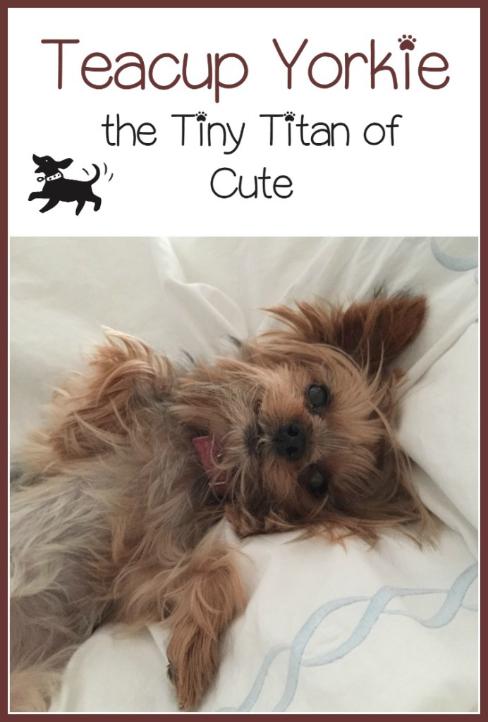 Teacup Yorkie Tiny Titan Of Cute Hypoallergenic Dogs