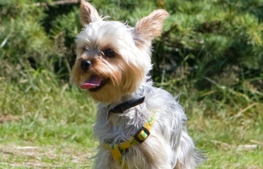 Long Haired Dog Breeds: Yorkshire terrier