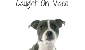 These 5 Cutest Pitbull Puppies Caught On Video will have you laughing so hard you cry. Everyone needs a fun video pick me up, & these really fit the bill!