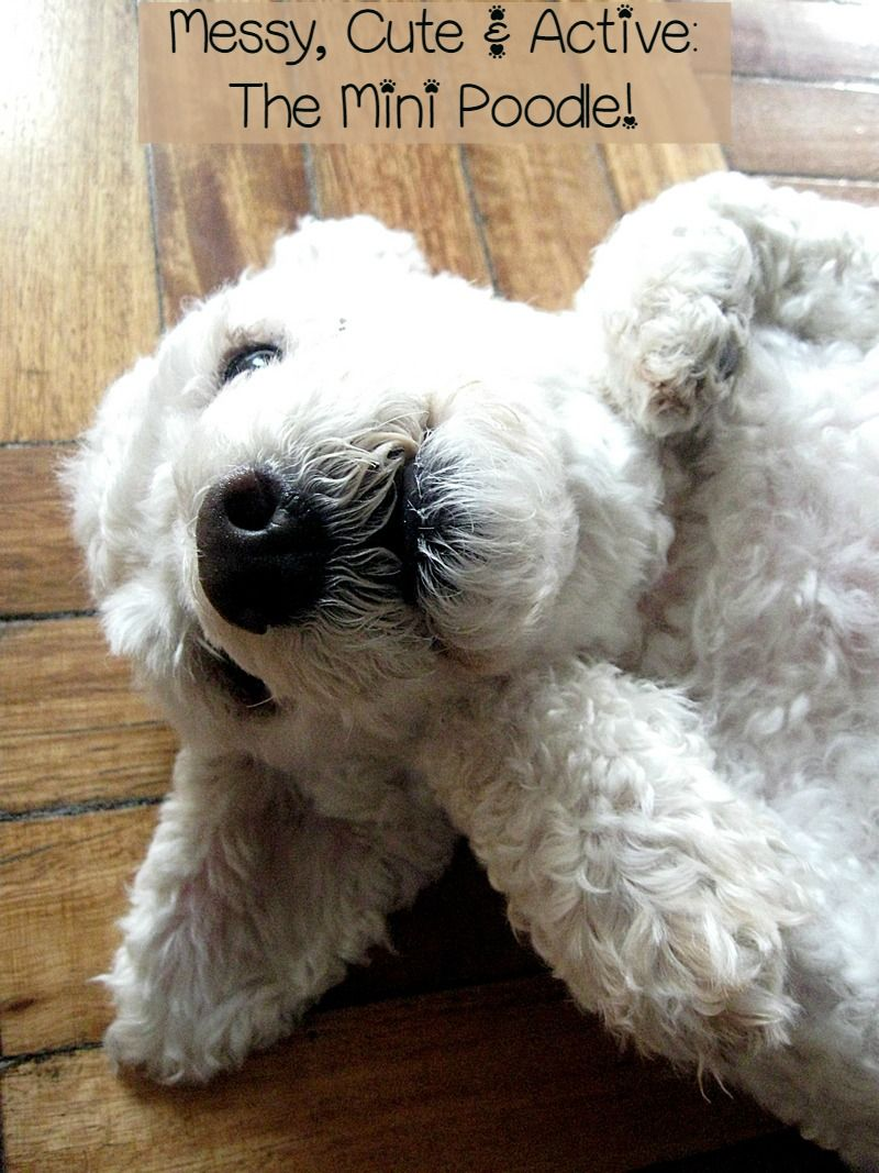 Small Hypoallergenic Dogs that Love to be Messy –  The Miniature Poodle
