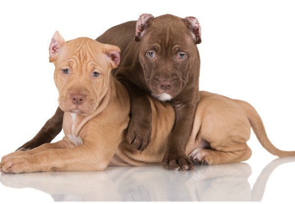 Pitbull Puppy Obedience Training Videos Dogvills