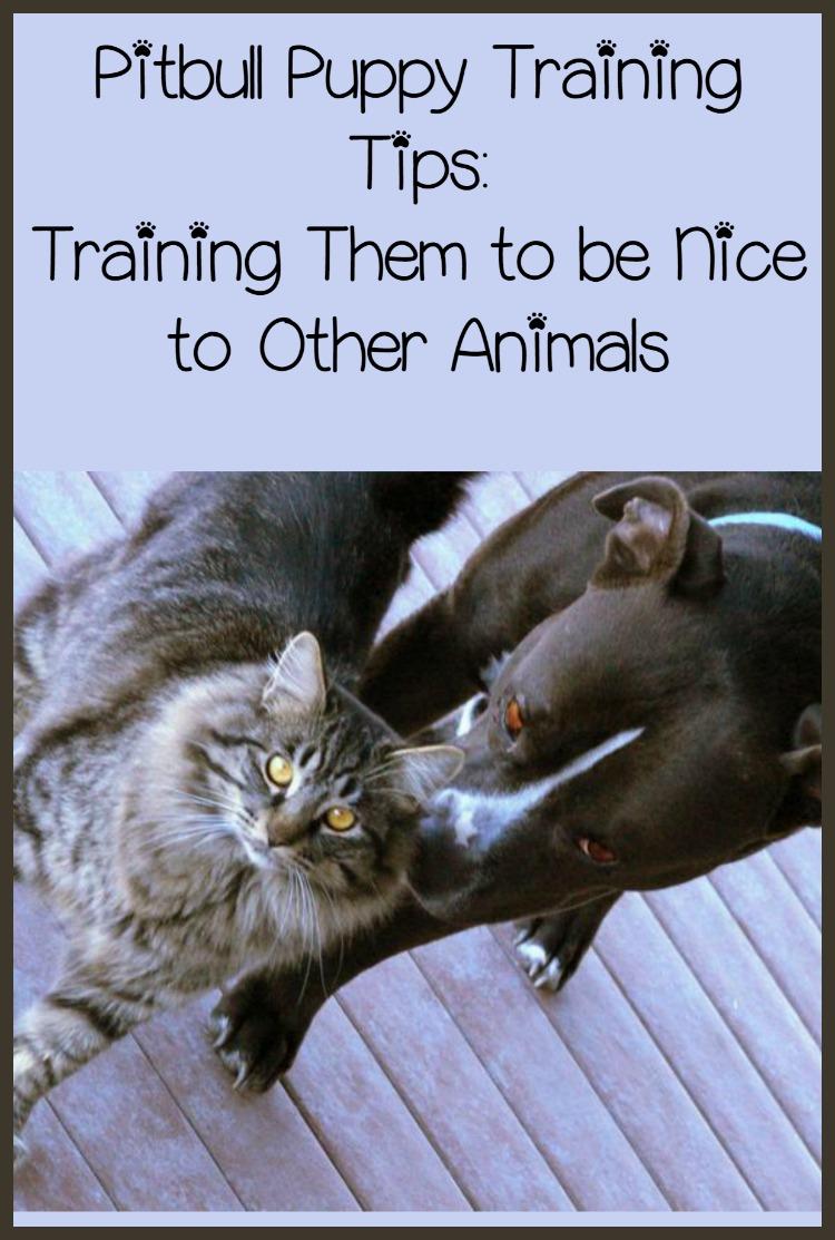 Pitbull Puppy Training Tips: Training Them to be Nice