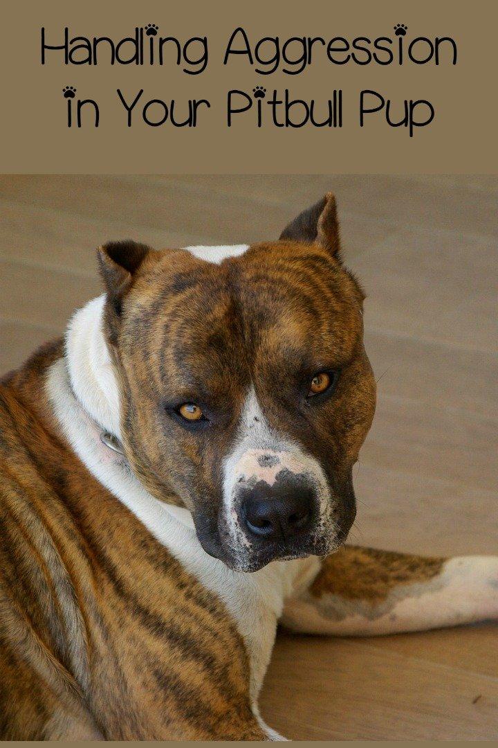 aggressive pitbull dogs With aggressive dog training tips