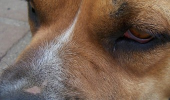 Pitbull discrimination is a real problem. Between poorly bred Pits and irresponsible owners, Pitbull discrimination has become commonplace in this country. Find out what you can do to put an end to it.