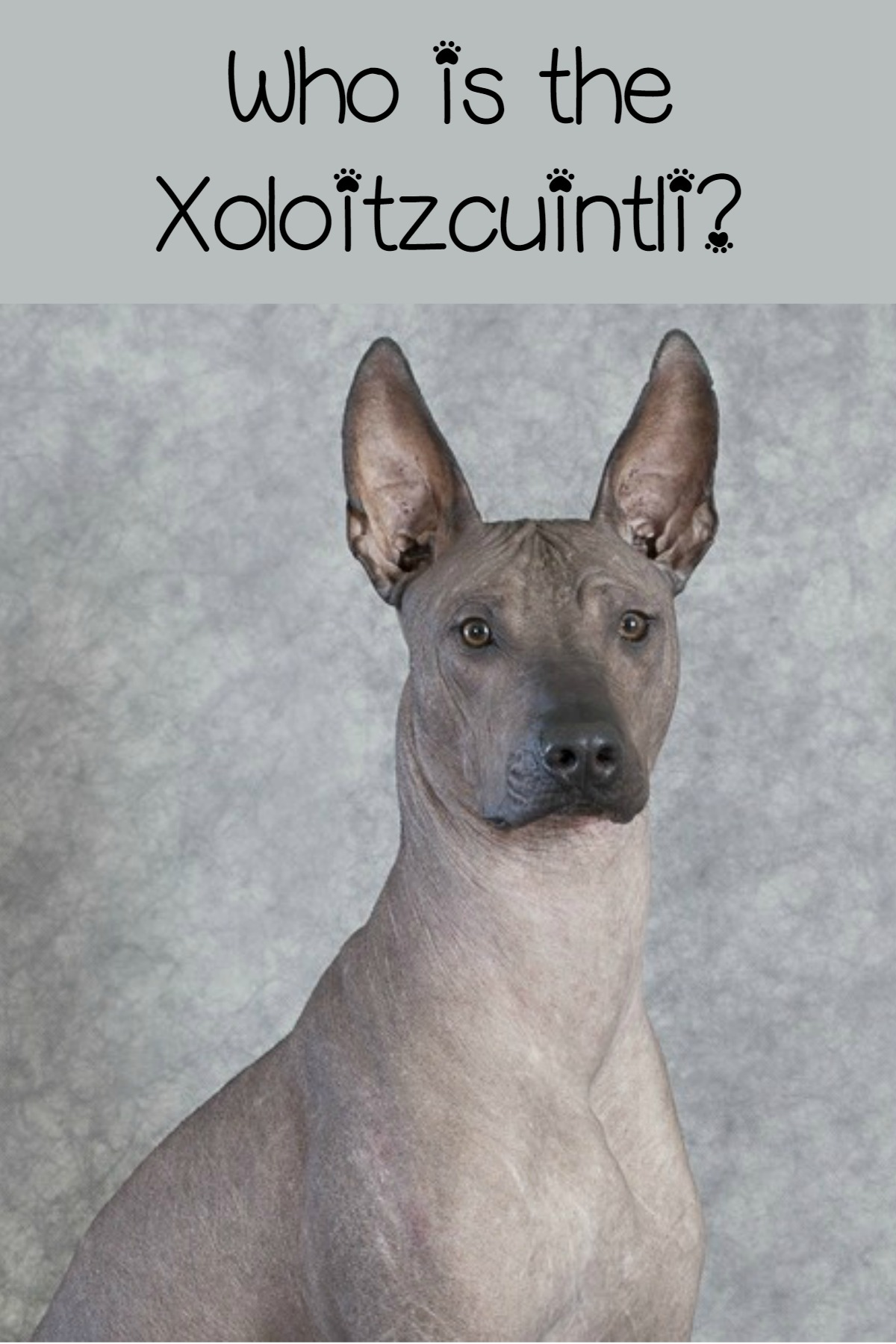 The Xoloitzcuintli A Unique Hypoallergenic Dog