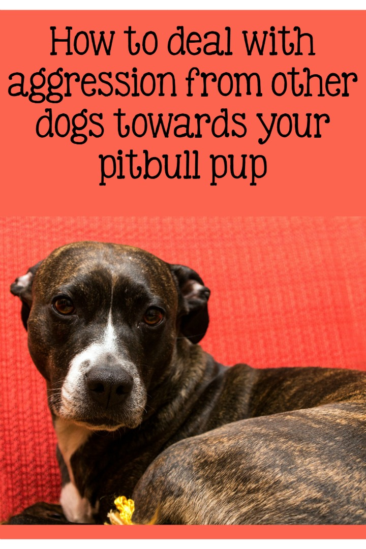 Pitbull Puppy Training Tips: Addressing Aggression