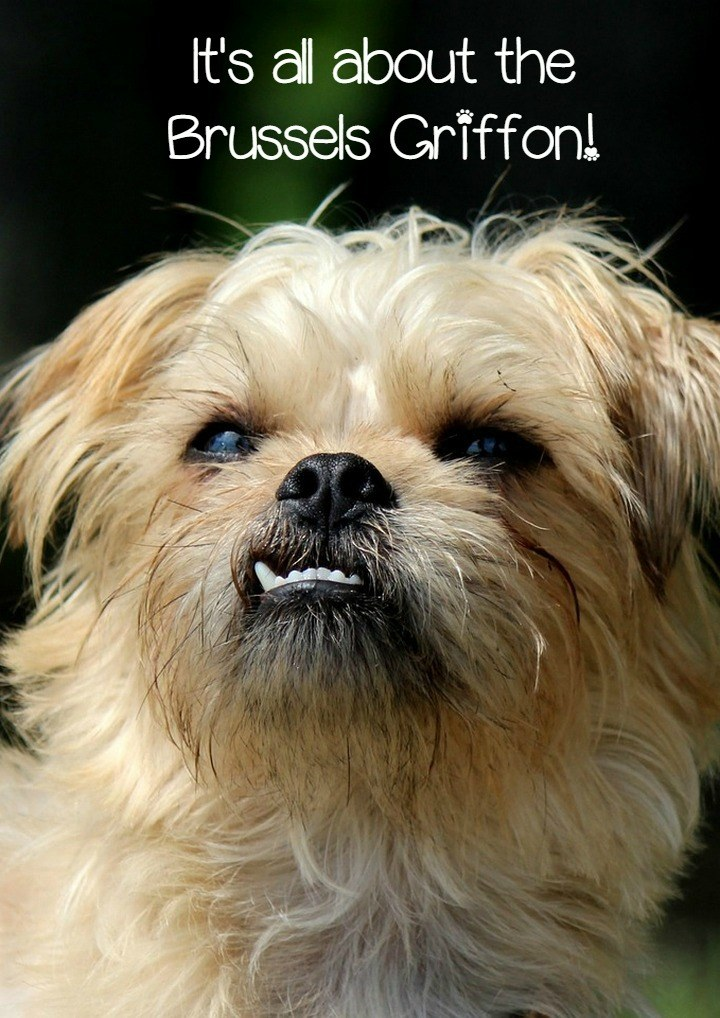 The Brussels Griffon A Great Small Breed Companion
