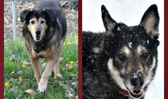 Maintaining a healthy weight in your dogs can help give them longer lives. Just ask Maia and Tasha! They'll both be 14 this year!