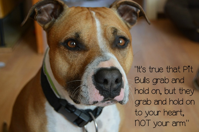 Famous Quotes About Pit Bulls Pitbull Puppy L...