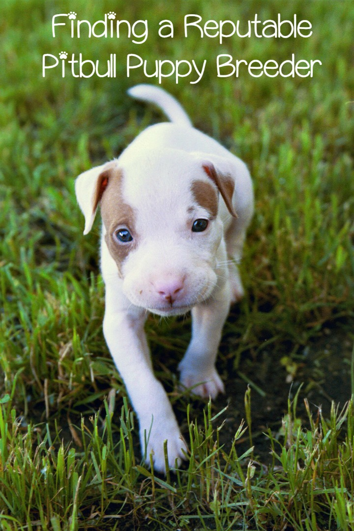 Finding a Reputable Pitbull Puppy Breeder
