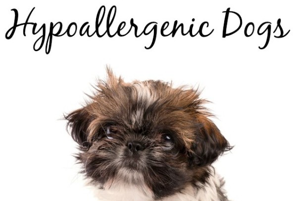 5 best small hypoallergenic dogs dogvills for Best dogs for companionship