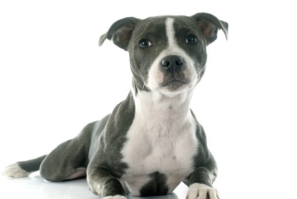 5 Cutest Pitbull Puppies Caught On Video Dogvills