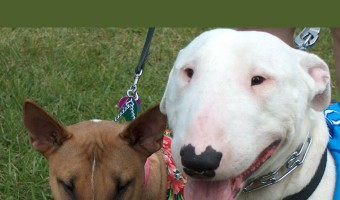 Pitbull Puppy Training Tips will discuss introducing your new puppy to other dogs. These Pitbull puppy training tips for introductions help keep it smooth.