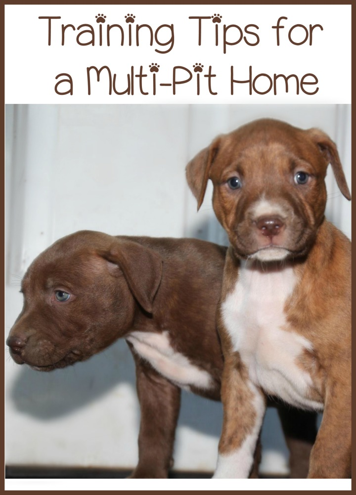 Pitbull Puppy Training Tips – A Multiple Pit Home