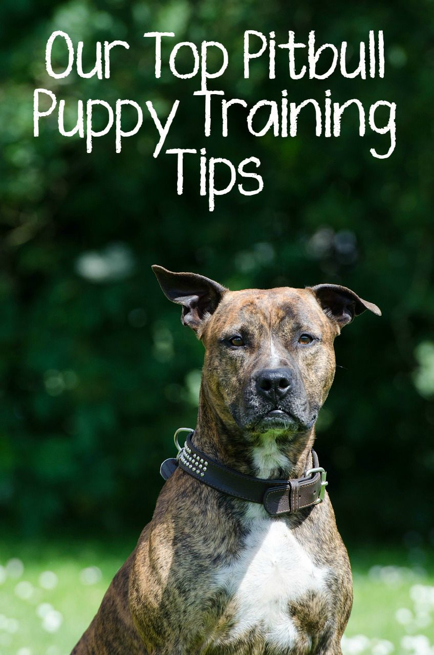 Our Top Pitbull Puppy Training Tips