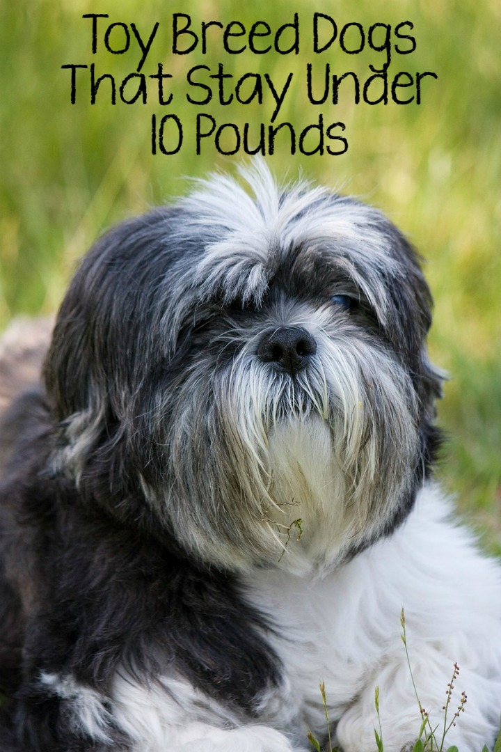 5 Best Toy Breed Dogs That Stay Under 10 Pounds
