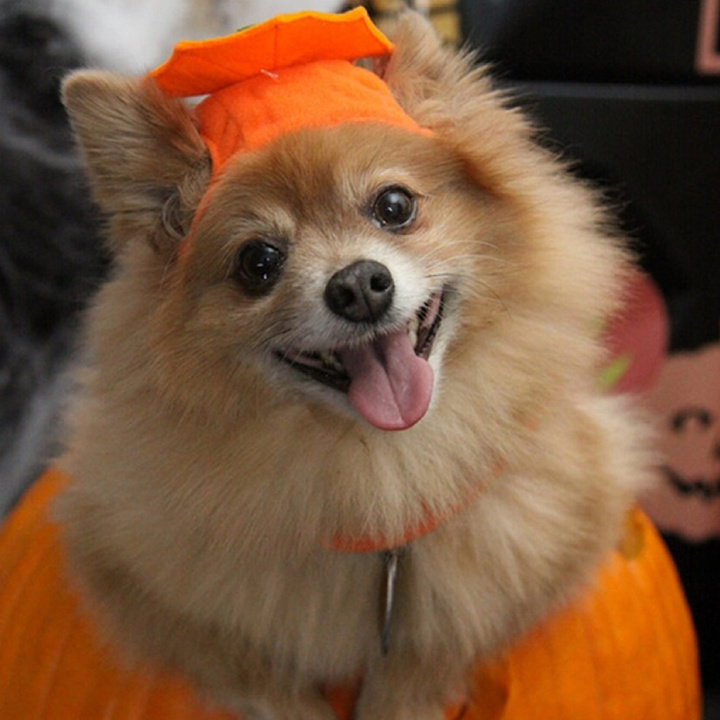 Halloween Safety Tips For Your Nervous Dog Dogvills
