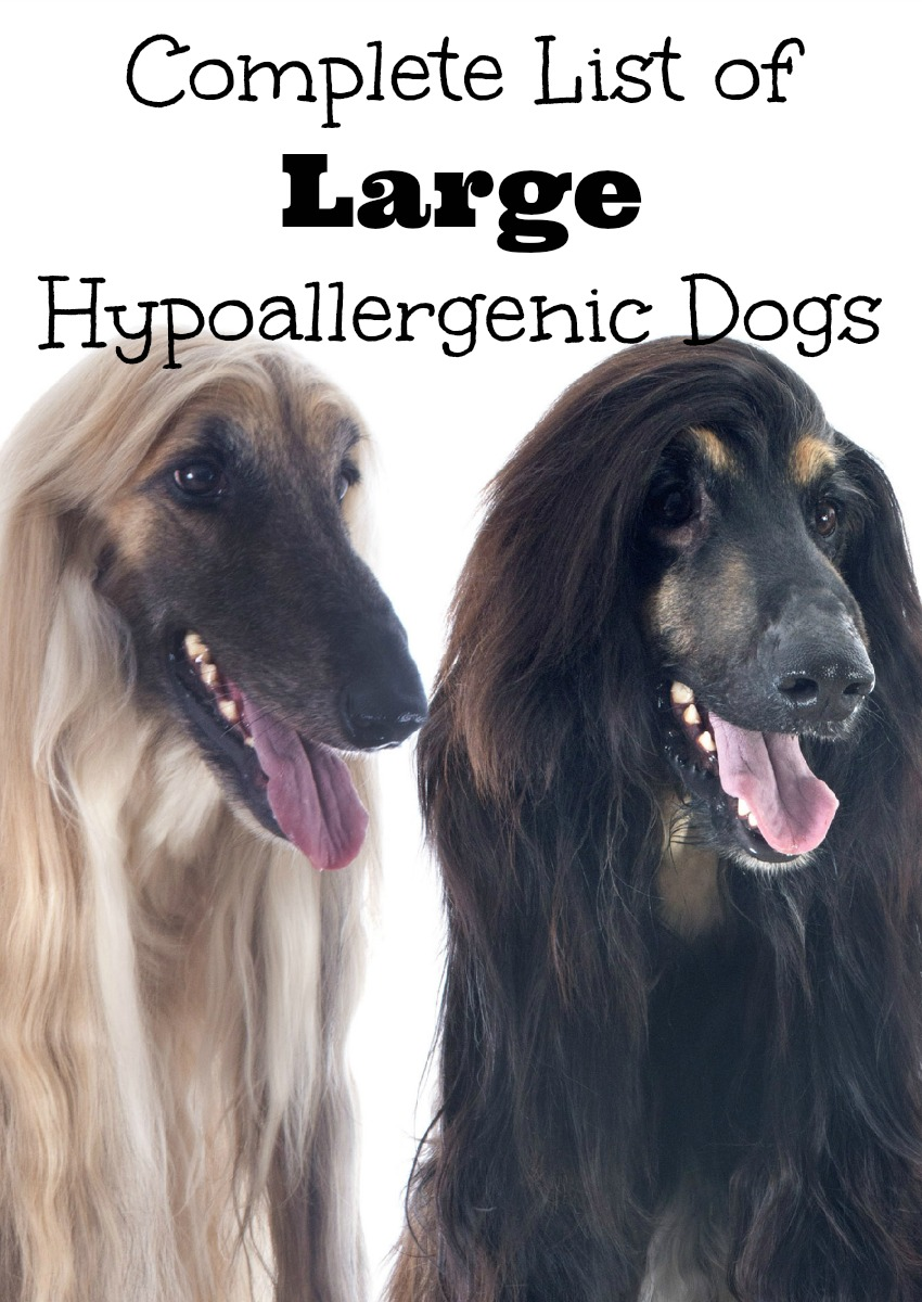 Complete List of Large Hypoallergenic Dogs